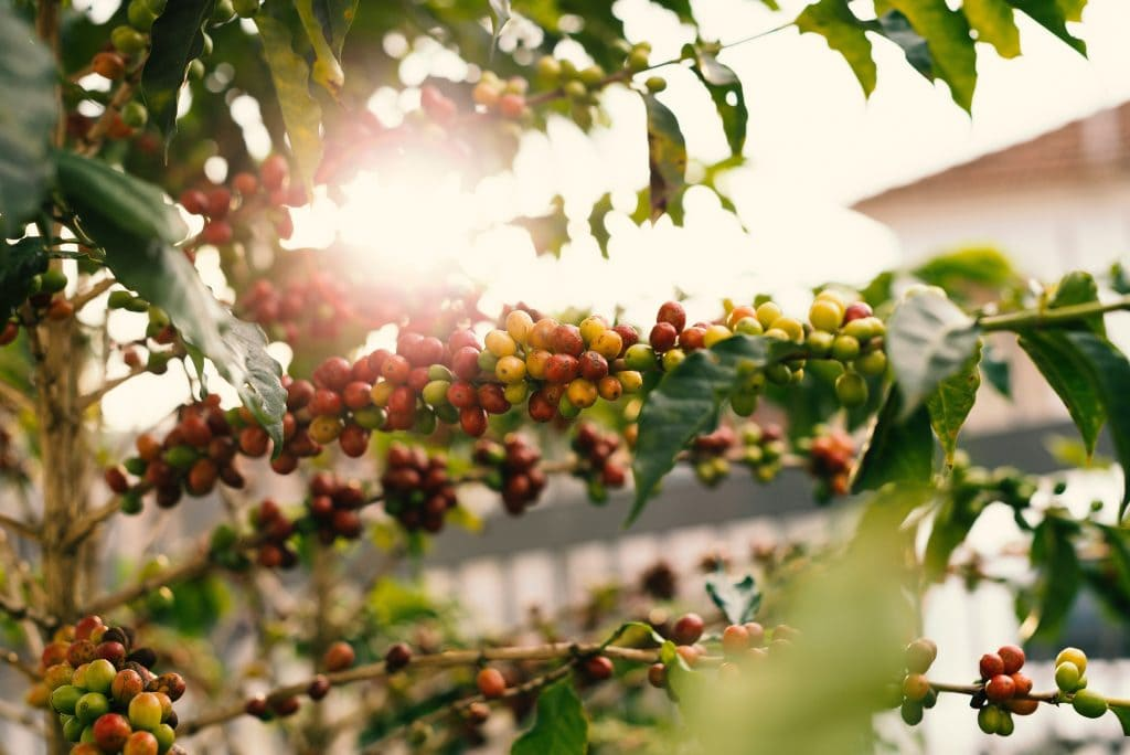 Coffee tree branches loaded with fruits