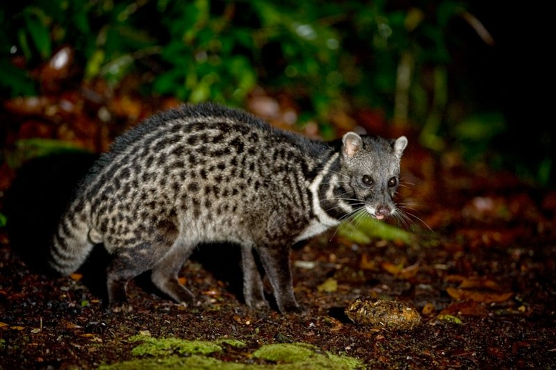 Malay civet free in the wild