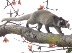 Civet free on a tree