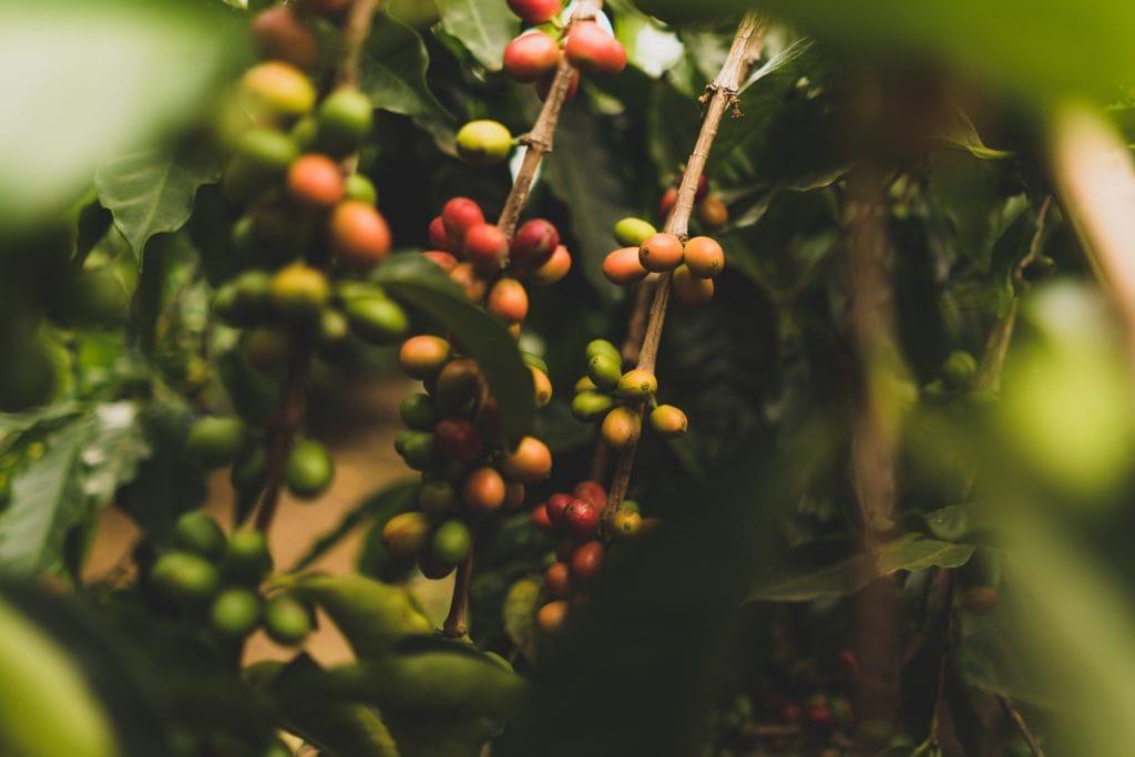 Coffee plant in Hawaii